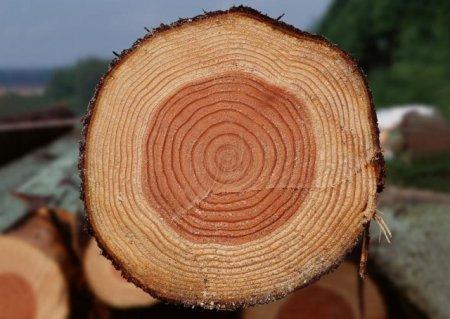 Строение дерева и древесины